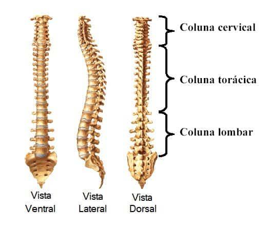 anatomia coluna vertebral