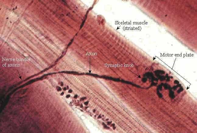 anatomia ponto gatilho microscopio