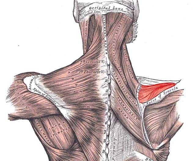 musculo supraespinhal ombro